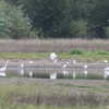 Egrets & Gulls At Jackson Bottom Wetlands Preserve OR