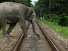 Elephant Crossing Rail Track
