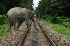 Elephant Crossing Rail Track