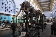 Elephant Specimen Kol