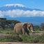 Elephant With Mt Kilimanjaro