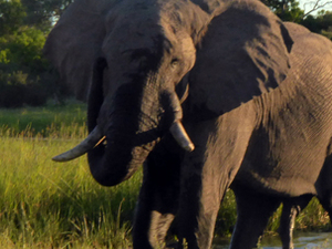 Best of Botswana - The best safari in Africa