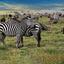 Zebras & Wildebeests