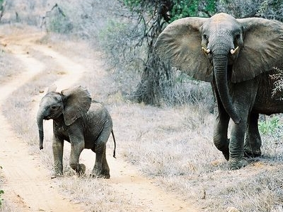 Elephants Crossing Road In Tsavo East