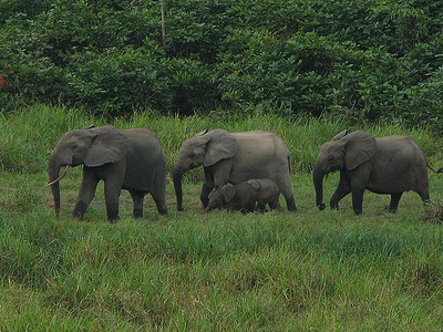 Elephants Longue Bai In Gabon