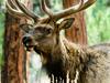 Elk Tusayan