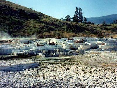 Elk On Travertine Terraces, Mammoth Hot Springs