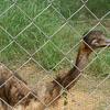 Emu At Indira Gandhi Zoo Park