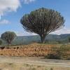 Euphorbia Tree