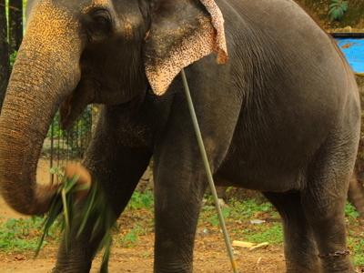 Elephants Chained At Punnathor Kotta