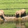 Elephants At River
