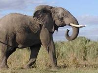 Elephant At RUAHA