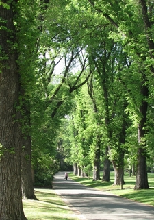 Avenue Of English Elms In The Gardens