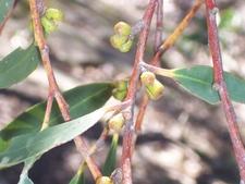 Eucalyptus Triflora Pigeon House Mountain