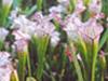 Fairhope   Alabama   Weeks   Bay  Pitcher  Plants