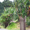 A Coffee And Bananas Farm In Adjuntas