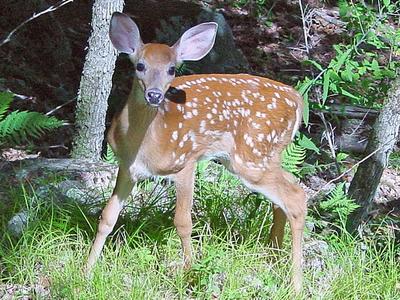 Fawn In Deer Park