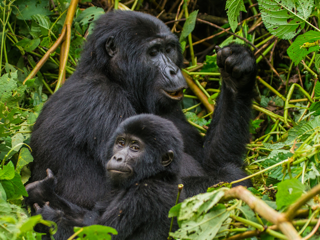Epic Gorilla and Wildlife Safari Photos