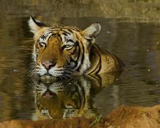 Female Tiger T 17 At Ranthambhore National Park