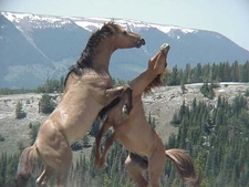Feral Stallions Fighting