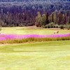 Fireweed Adds A Colorful Edge To This Golf Course