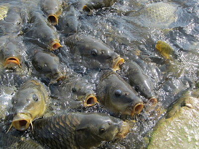 Fishes Feeding In Mansar Lake
