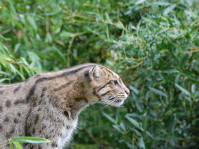 Fishing Cat In The Park
