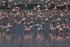 Flamingos In Amboseli National Park - Kenya