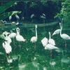 Flamingos In Lake Gardens