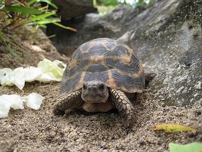 Flat-backed Spider Tortoise - Parc Endemika - Sainte Marie Island Madagascar