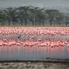 Flocks Of Lake Nakuru Flamingoes