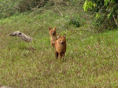 Fox At Periyar National Park