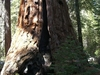 Freeman Creek Sequoia