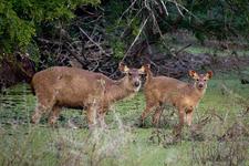 Fuzzy Deer