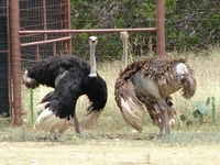 Highgate Ostrich Show Granja