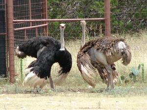 Highgate Ostrich Farm Show