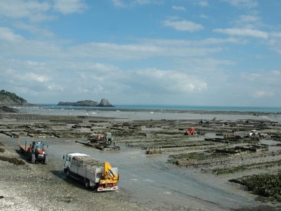 Harvesting Oysters In Cancale