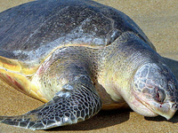 Gahirmatha Turtle Sanctuary