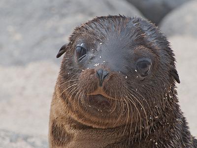 Galapagos Sea Lion Cub - North Seymour Island