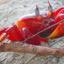 Ganga Sagar Red Crab