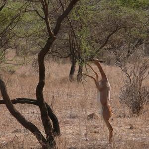 Gerenuk At Samburu