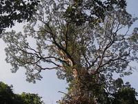 Rain Tree Giant