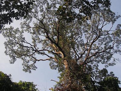 Giant Rain Tree