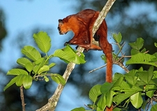 Giant Red Flying Squirrel In Borneo - Sabah