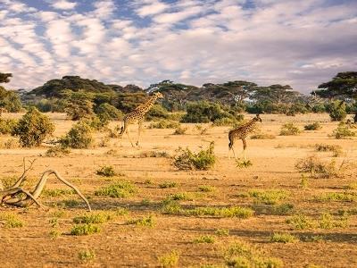 Giraffe Family - Maasai Mara