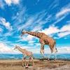 Giraffe Pair - Tanzania