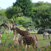 Giraffes At The  Belfast Zoo