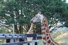 Giraffes @ Wellington Zoo NZ