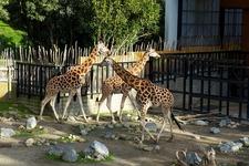 Giraffe @ Wellington Zoo NZ