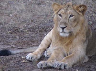 Gir Lion Male